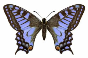 pillangó, babakocsi lelkülethez